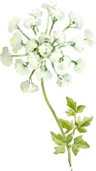 水彩イラスト白い花